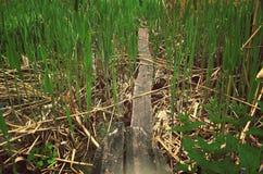Зеленый bulrush, красивая природа, свежесть Стоковое фото RF