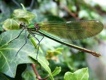 Зеленый Damselfly Стоковые Фотографии RF