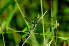 Зеленый Dragonfly стоковое изображение rf