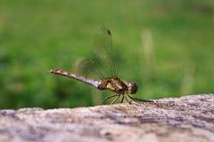 Зеленый Dragonfly Стоковое Фото