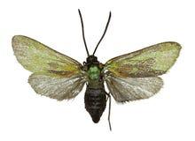 Зеленый Forester на белой предпосылке иллюстрация штока