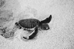 Зеленый hatchling морской черепахи на пляже th стоковые изображения rf