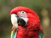 зеленый macaw подогнал стоковые изображения rf