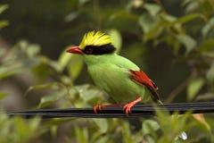 зеленый magpie Стоковые Фотографии RF