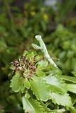 Зеленый mantis сидя в кусте травы. Стоковые Фото