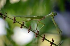 Зеленый parying mantis на стержне стоковые фотографии rf