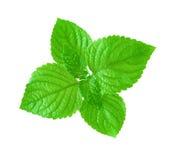 Зеленый Perilla Стоковое фото RF