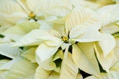 зеленый poinsettia Стоковое Изображение RF