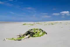 Зеленый seaweed на пляже Стоковое Изображение