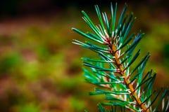 Зеленый sprig сосны стоковое изображение rf