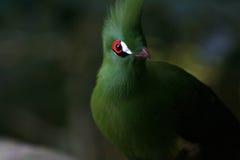 зеленый turaco Стоковые Фото