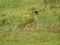 зеленый woodpecker в Бельгии, Zottegem стоковые изображения rf
