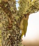 Зеленый Woodpecker дальше уподобляет и мох стоковые изображения