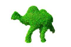 Зеленым изгородь сформированная верблюдом отрезала дерево изолированное на белой предпосылке Стоковые Изображения