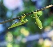 2 зеленых больших богомола вползая вдоль ветви стоковое фото rf