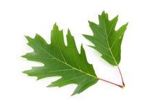 2 зеленых листь красного дуба на белой предпосылке Стоковое фото RF
