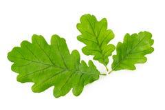 3 зеленых листь общего дуба на белой предпосылке Стоковая Фотография RF