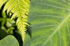 2 зеленых листь папоротника и ладони в лесе Стоковые Изображения RF