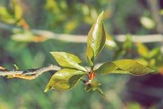 4 зеленых листь тополя были раскрыты на начале ветви Стоковые Фото