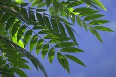 2 зеленых листь Стоковое Изображение RF