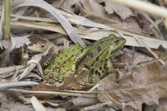 2 зеленых лягушки в древесинах среди желтых листьев Стоковые Изображения RF