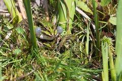 3 зеленых лягушки в окружающей среде Стоковая Фотография