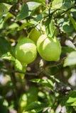 3 зеленых молодых больших свежих незрелых лимона растут на дереве Стоковое Фото