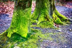 2 зеленых ствола дерева с мхом Стоковая Фотография