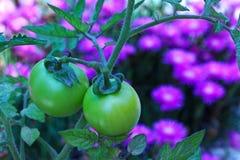 2 зеленых томата в саде с фиолетовыми цветками Стоковое Изображение