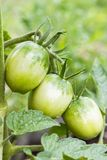 3 зеленых томата и куст томата Стоковые Изображения