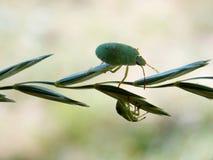 2 зеленых черепашки Стоковое Изображение