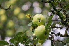 2 зеленых яблока растя на дереве Стоковая Фотография
