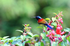 Зелен-замкнутое Sunbird стоковые изображения