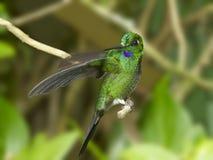 Зелен-увенчанный Hummingbird Violetear Стоковое Изображение RF