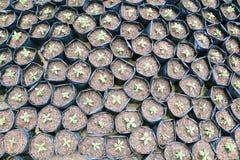 Земледелие и осеменять концепцию шага семени завода растущую Стоковое Изображение