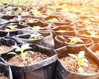 Земледелие и осеменять концепцию шага семени завода растущую Стоковые Изображения