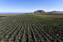 Земледелие и сельское хозяйство в вулканическом ландшафте Канарских островов - культивировании картошки в северном Лансароте с ву стоковая фотография rf