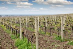 Земледелие ландшафта виноградника Стоковое фото RF