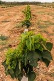 Земледелие небольших деревьев плантации вишни обширное стоковые изображения