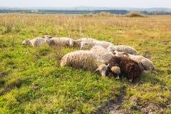 Земледелие, овца пасет в луге Стоковая Фотография