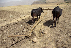 земледелие эфиопское Стоковые Изображения
