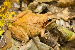землистая жаба Стоковые Фотографии RF
