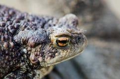 землистая лягушка Стоковые Фото