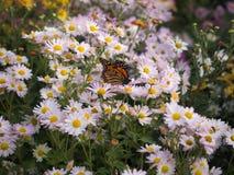 Земли бабочки на белых цветках хризантемы Стоковая Фотография
