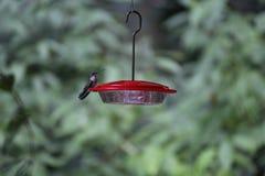 Земли колибри, который нужно подать от фидера Стоковое Изображение