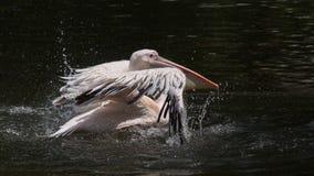 Земли пеликана на воде Стоковые Изображения RF