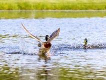 Земли утки кряквы на пруде Стоковое Изображение