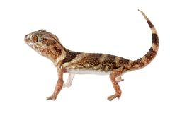 земля гиганта gecko Стоковые Фото