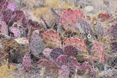Земля Неш-Мексико кактуса Неш-Мексико красная Стоковое Изображение