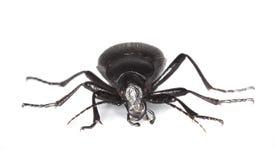 земля coriaceus carabus жука Стоковые Изображения